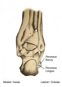 Peroneal Tendons Figure 1